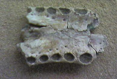 Section of an Asiatosuchus jaw Asiatosuchus.jpg