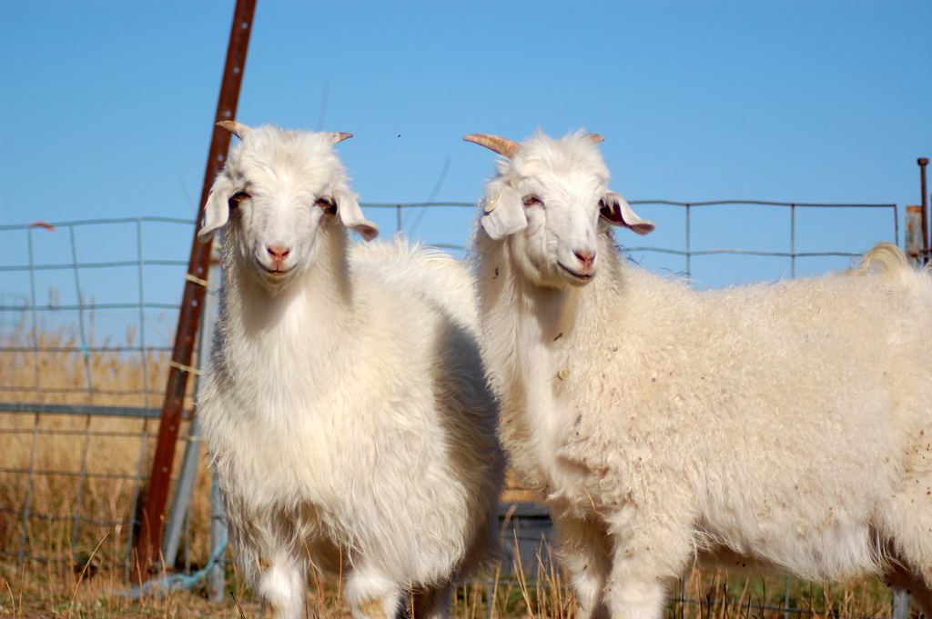 https://upload.wikimedia.org/wikipedia/commons/a/ac/Australian_Cashmere_Goats.jpg