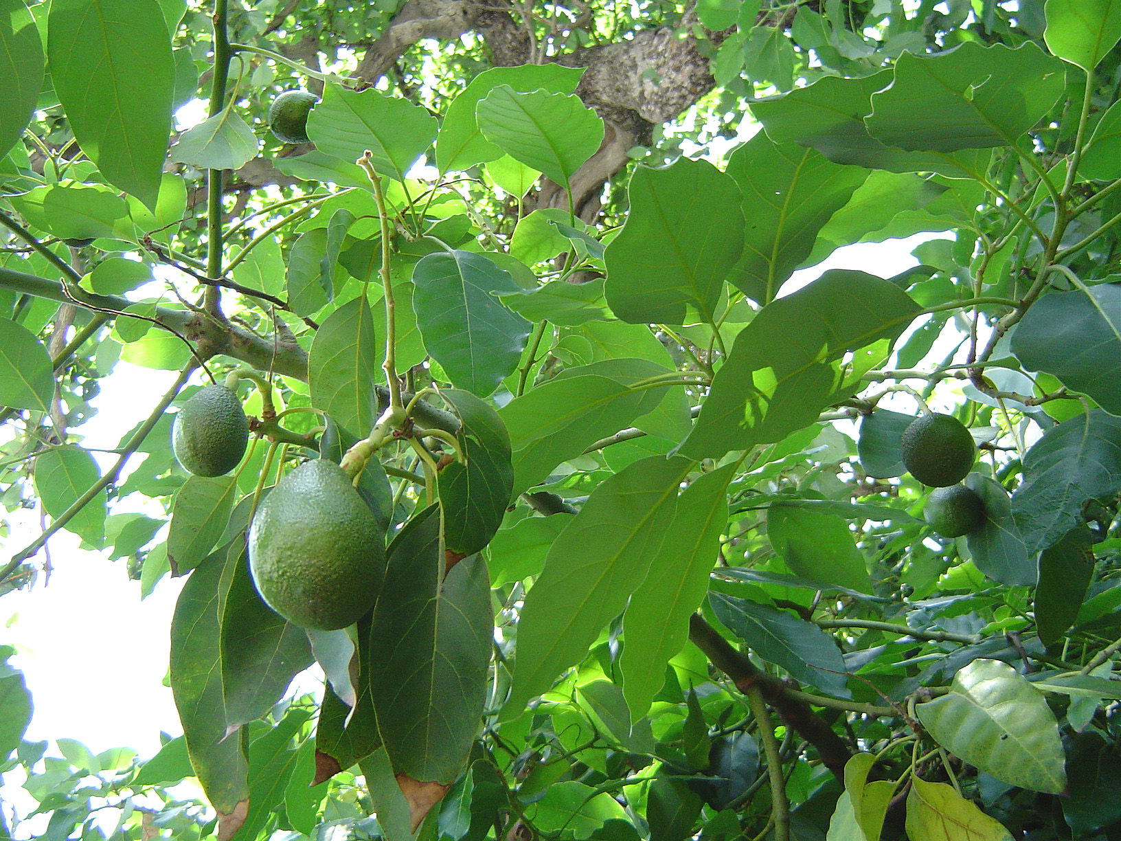Avocado (Persea americana) seed as a source of bioactive phytochemicals.