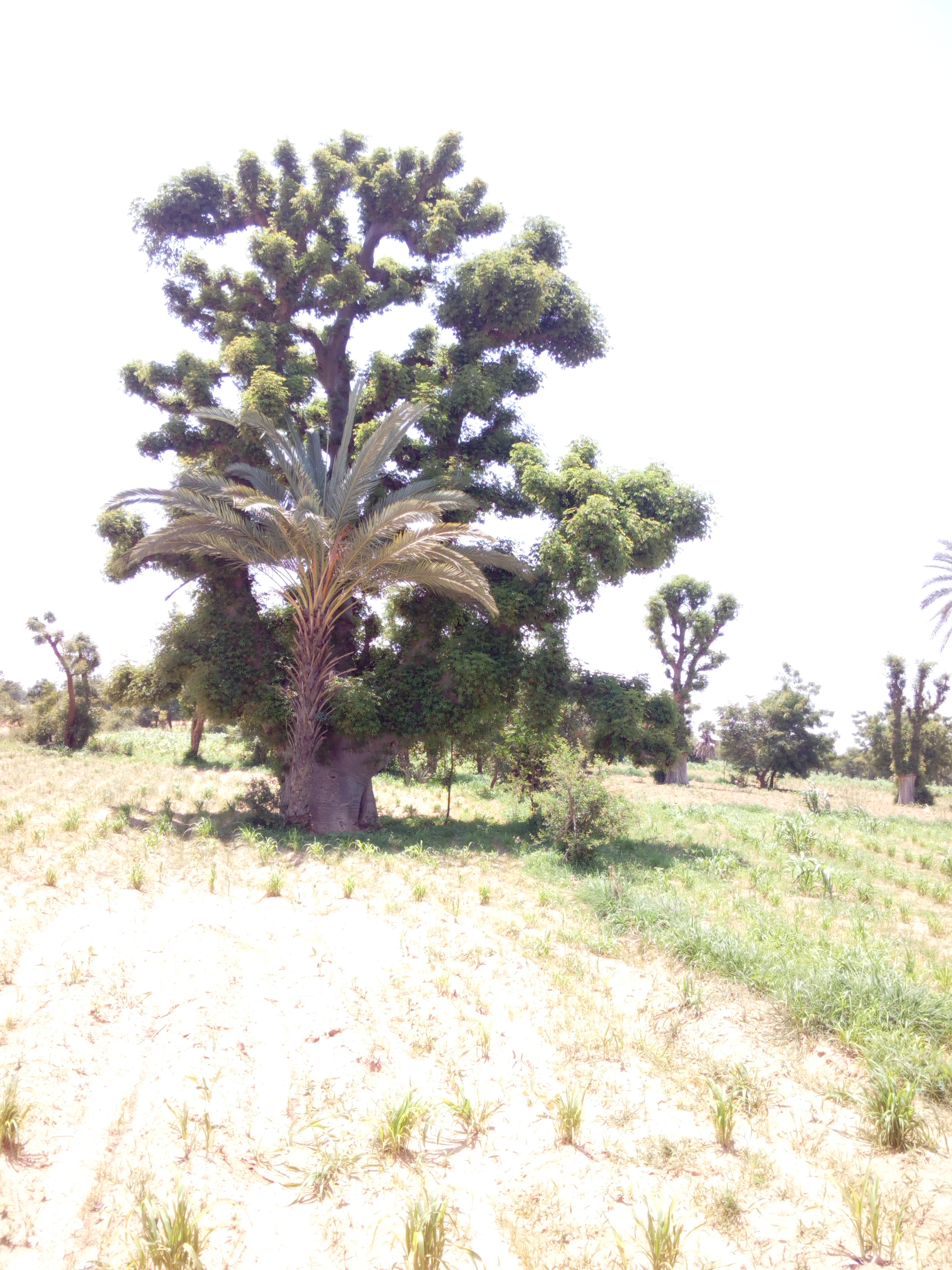 File:BAOBAB tree with DATE PALM tree sharing the same root  in