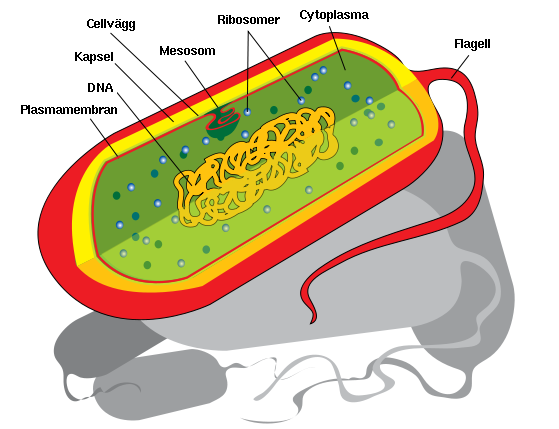 En schematisk bakterie