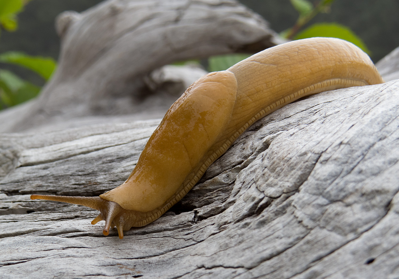 File:Banana slug - Rialto Beach, Olympic National Park, Washington ...