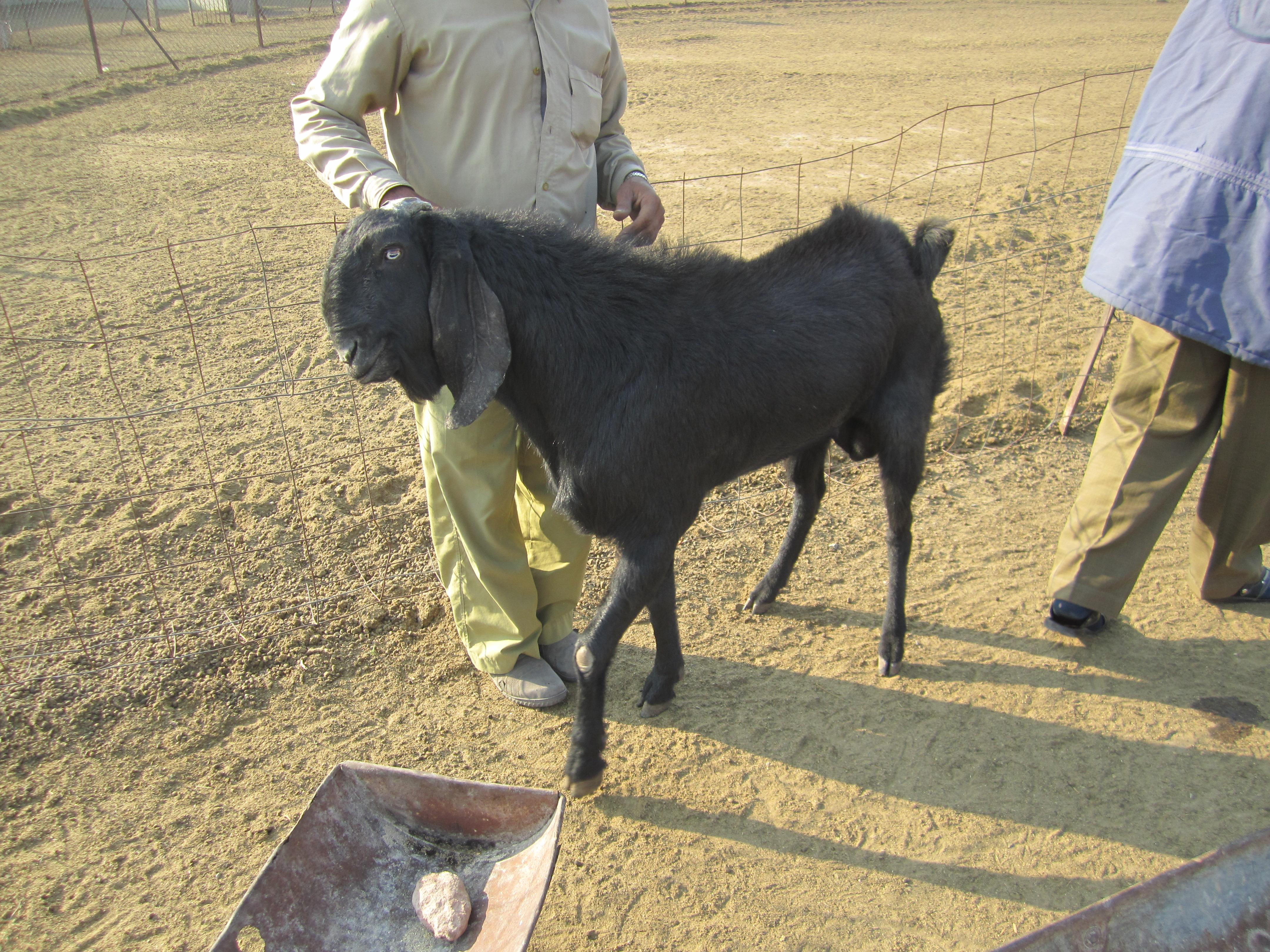 Biggest Boer Goat In The World