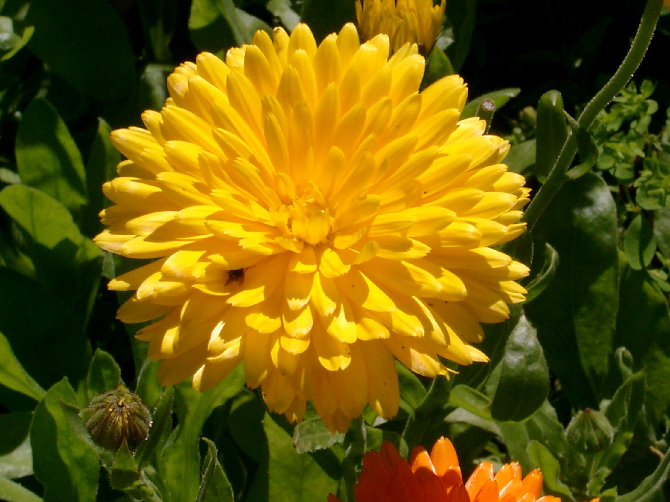 Filebenkid77 big yellow flower 070807g wikimedia commons filebenkid77 big yellow flower 070807g mightylinksfo