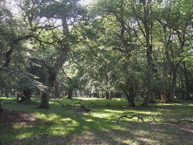 Broadleaved woodland in summer, Denny Wood, New Forest - geograph.org.uk - 28309