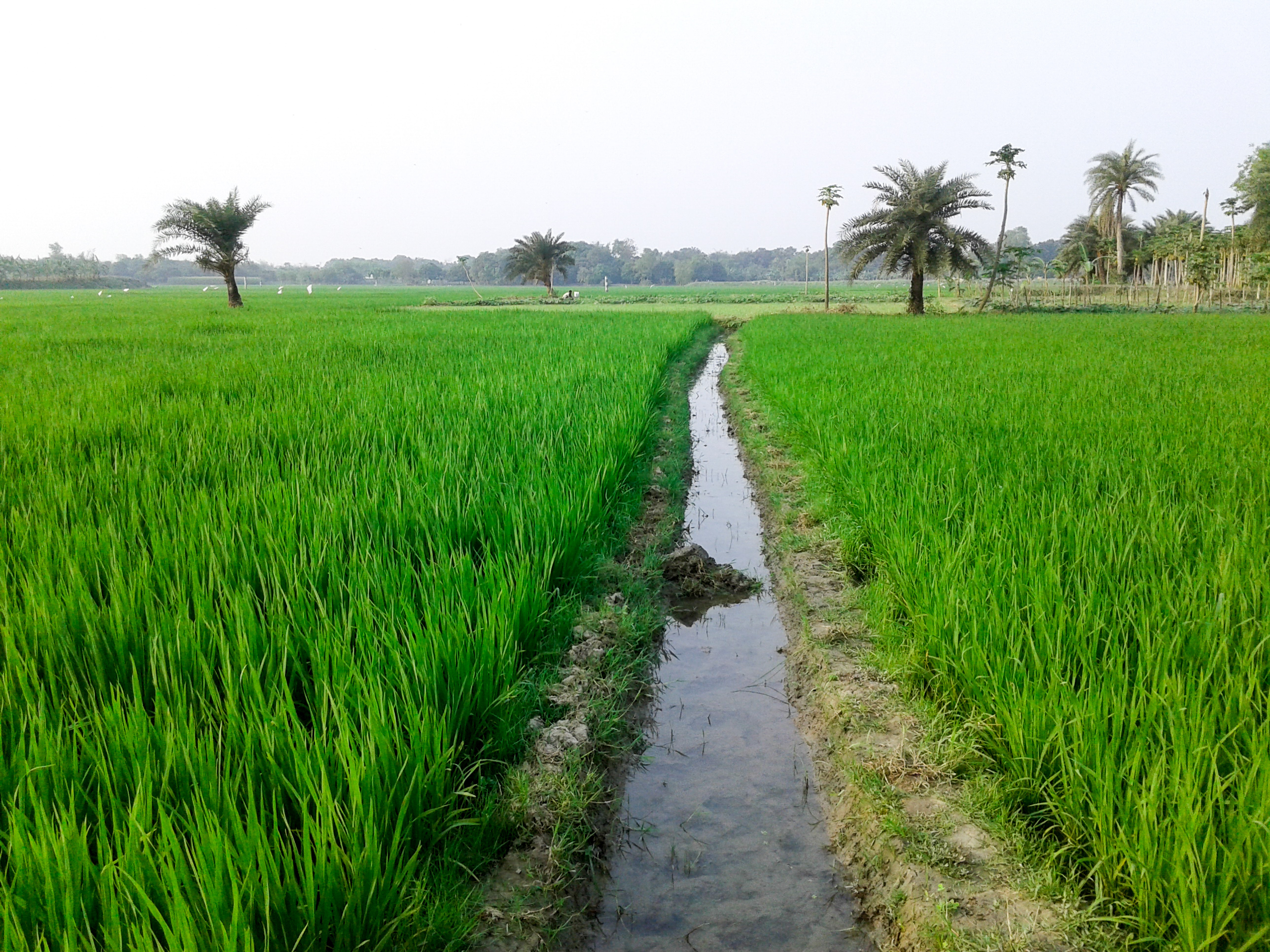 paddy crop meaning