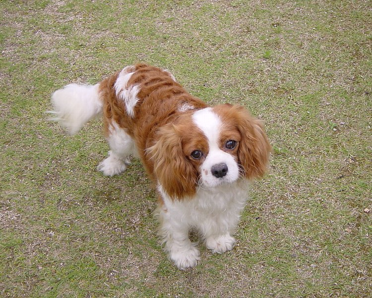http://upload.wikimedia.org/wikipedia/commons/a/ac/Cavalier-king-charles-spaniels.jpg