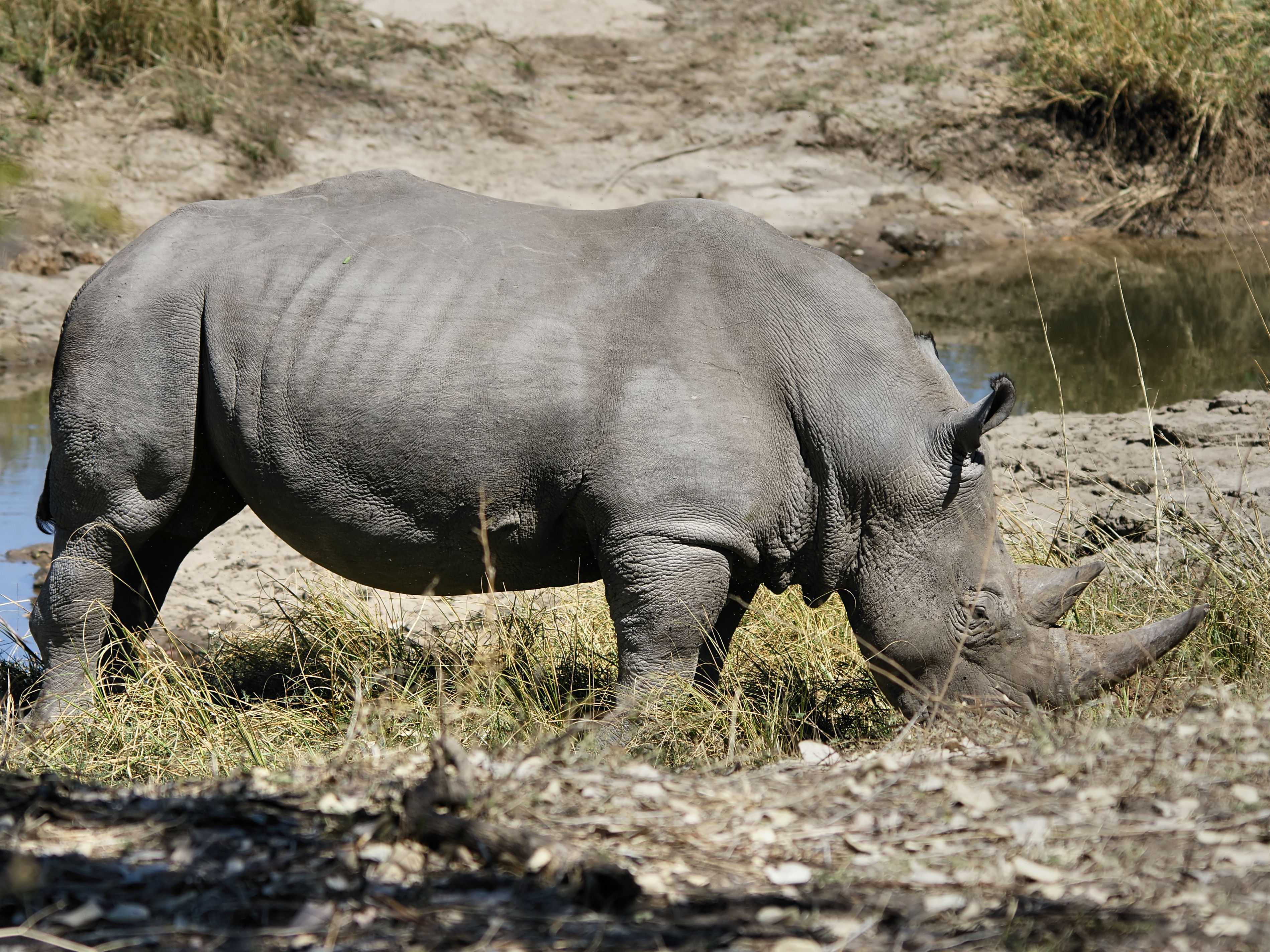 witte neushoorn - wikipedia