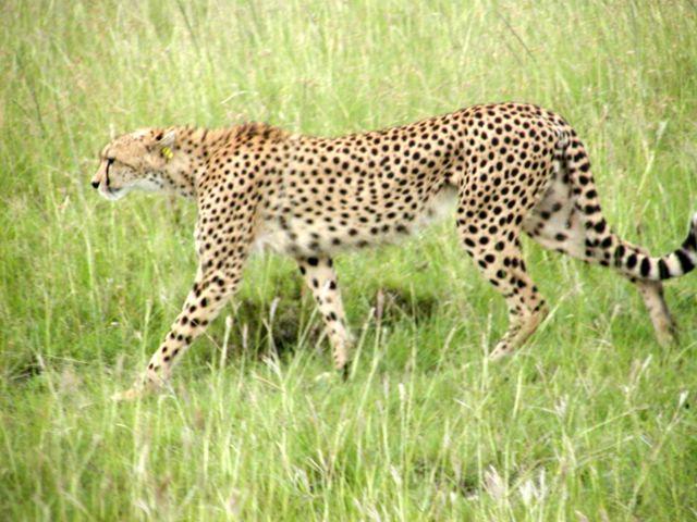 """A következő kép nem jeleníthető meg, mert hibákat tartalmaz: """"http://upload.wikimedia.org/wikipedia/commons/a/ac/Cheetah_in_Kenya.jpg""""."""