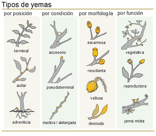 Yema axilar wikipedia la enciclopedia libre for Tipos de arboles y su significado