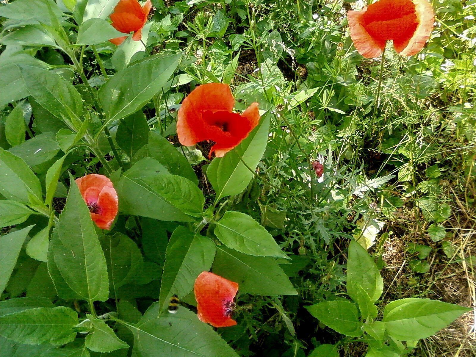 wild poppy flowers on - photo #9