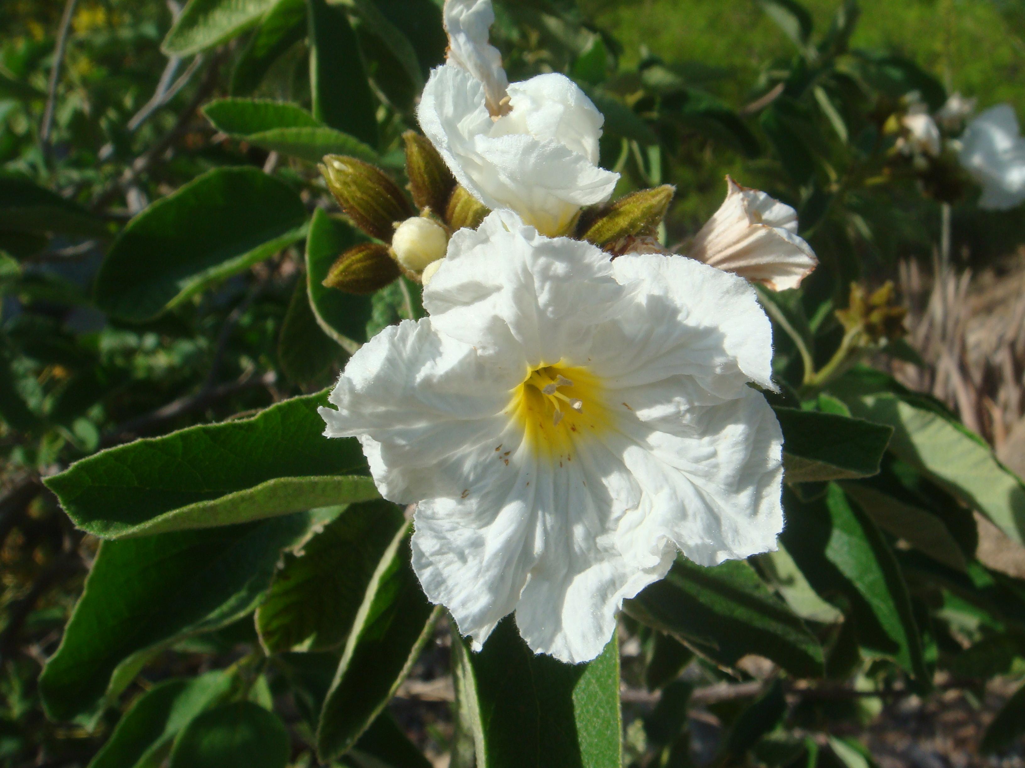 Description Cordia-boissieri-20080405 JPGCordia Boissieri