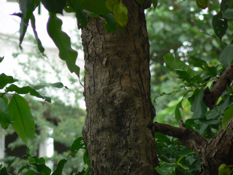 File Crocodile Bark Tree 817017095 Jpg Wikimedia Commons