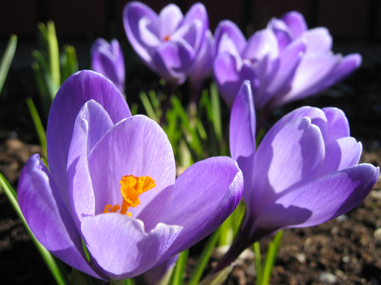 List of early spring flowers wikiwand mightylinksfo Gallery