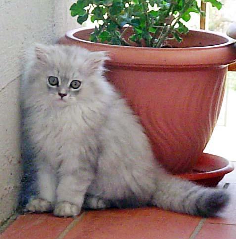 Persiano Chinchillà Wikipedia