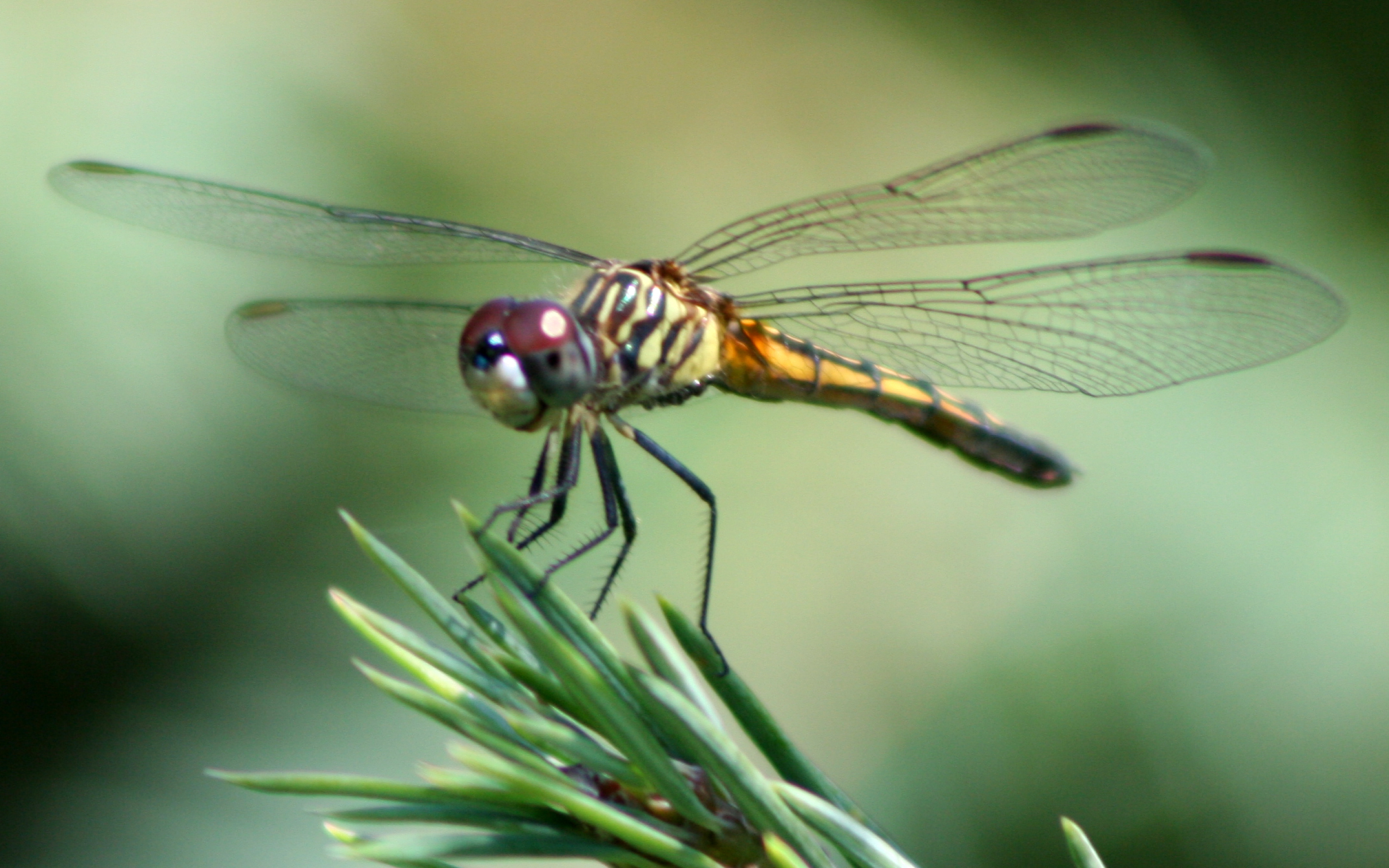 file dragonfly ran 387 jpg wikimedia commons
