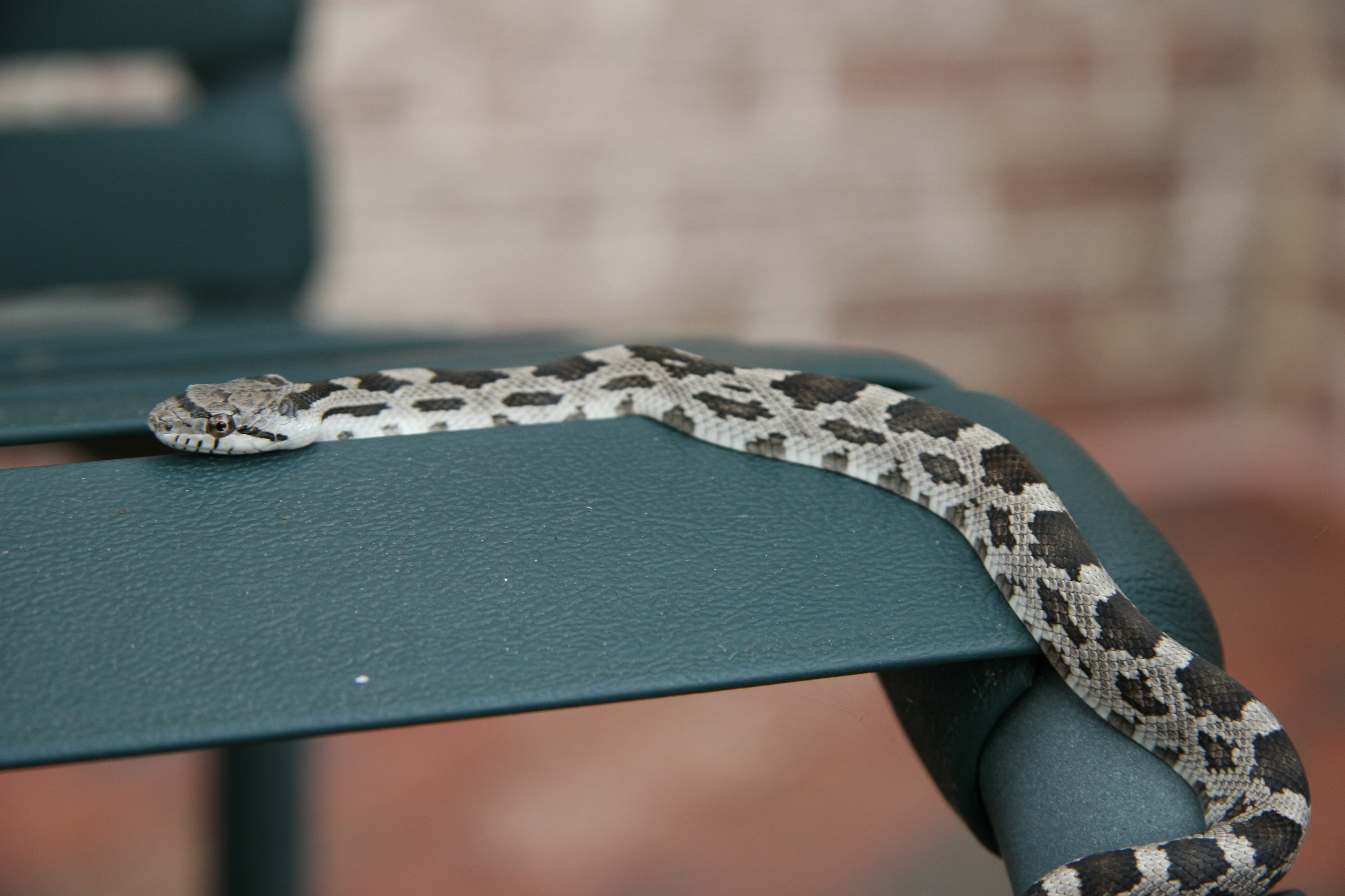 File:Eastern Milk Snake.jpg