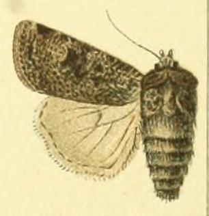 <i>Agrotis trux</i> Species of moth