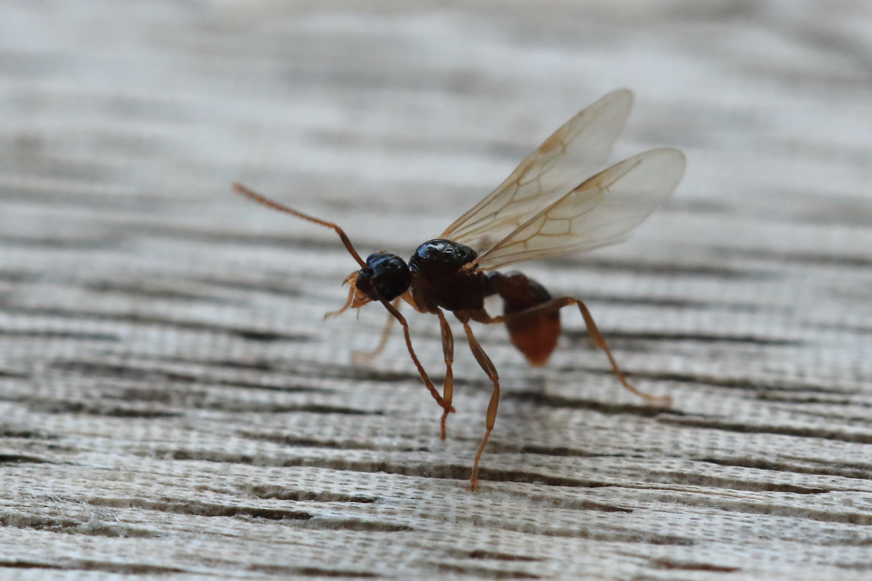Häufig Datei:Fliegende Ameise 6909.jpg – Wikipedia DN72