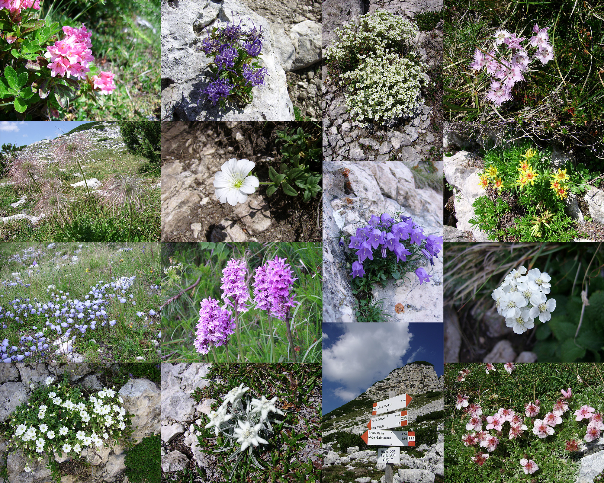 File Flora Alpina Alta Quota Cima Portule Jpg Wikipedia