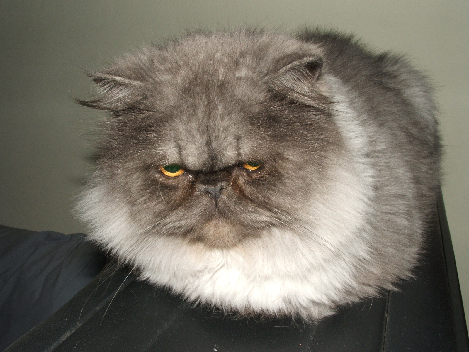 Lykoi Cat For Sale Colorado