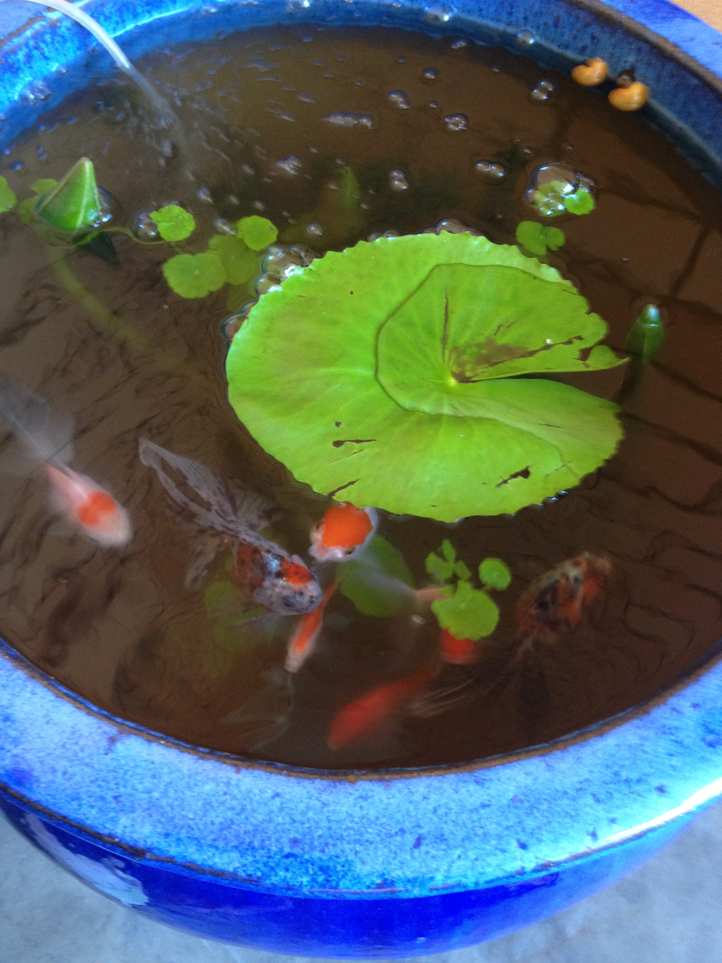 file gold fish pond jpg wikimedia commons