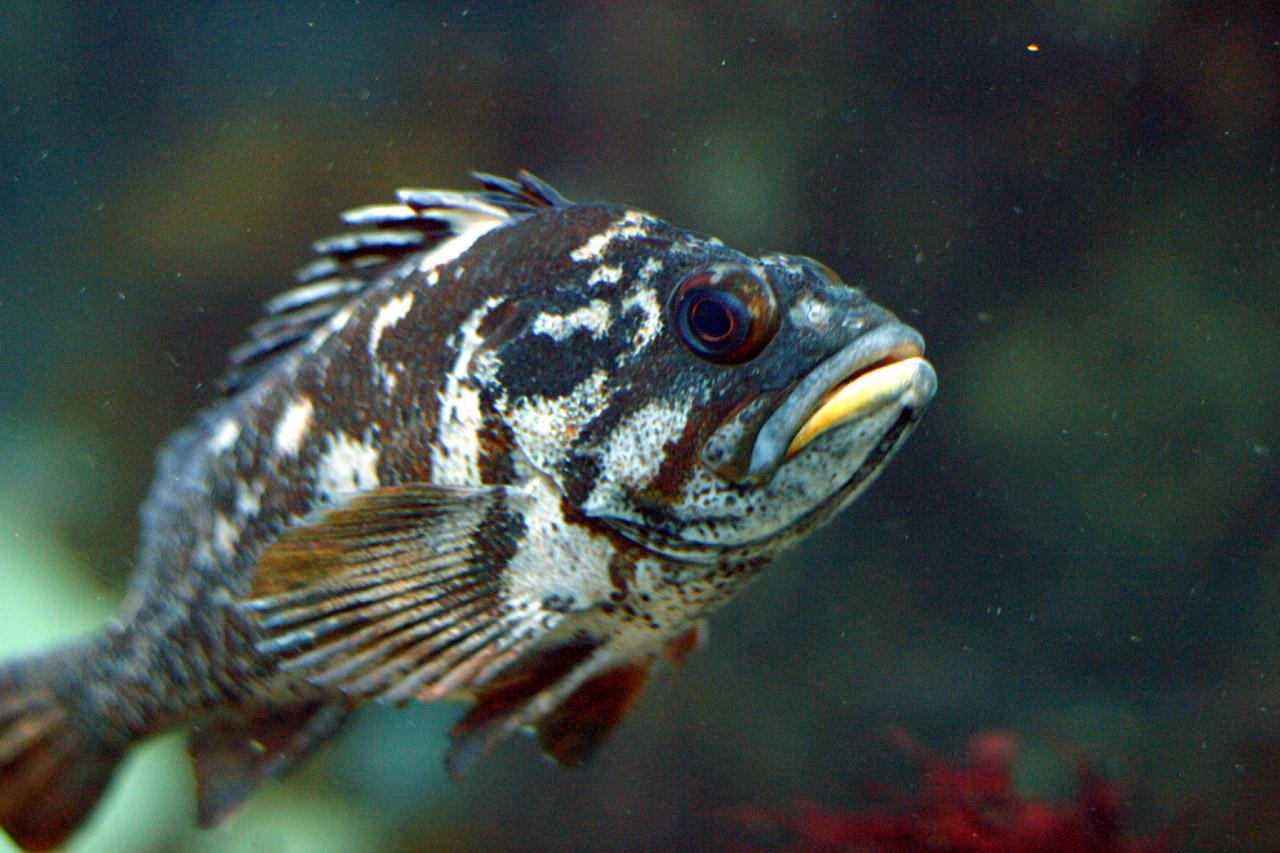 Gopher rockfish - Wikipedia