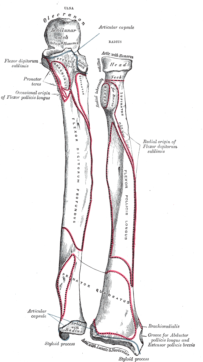 ulnar notch of the radius - wikipedia