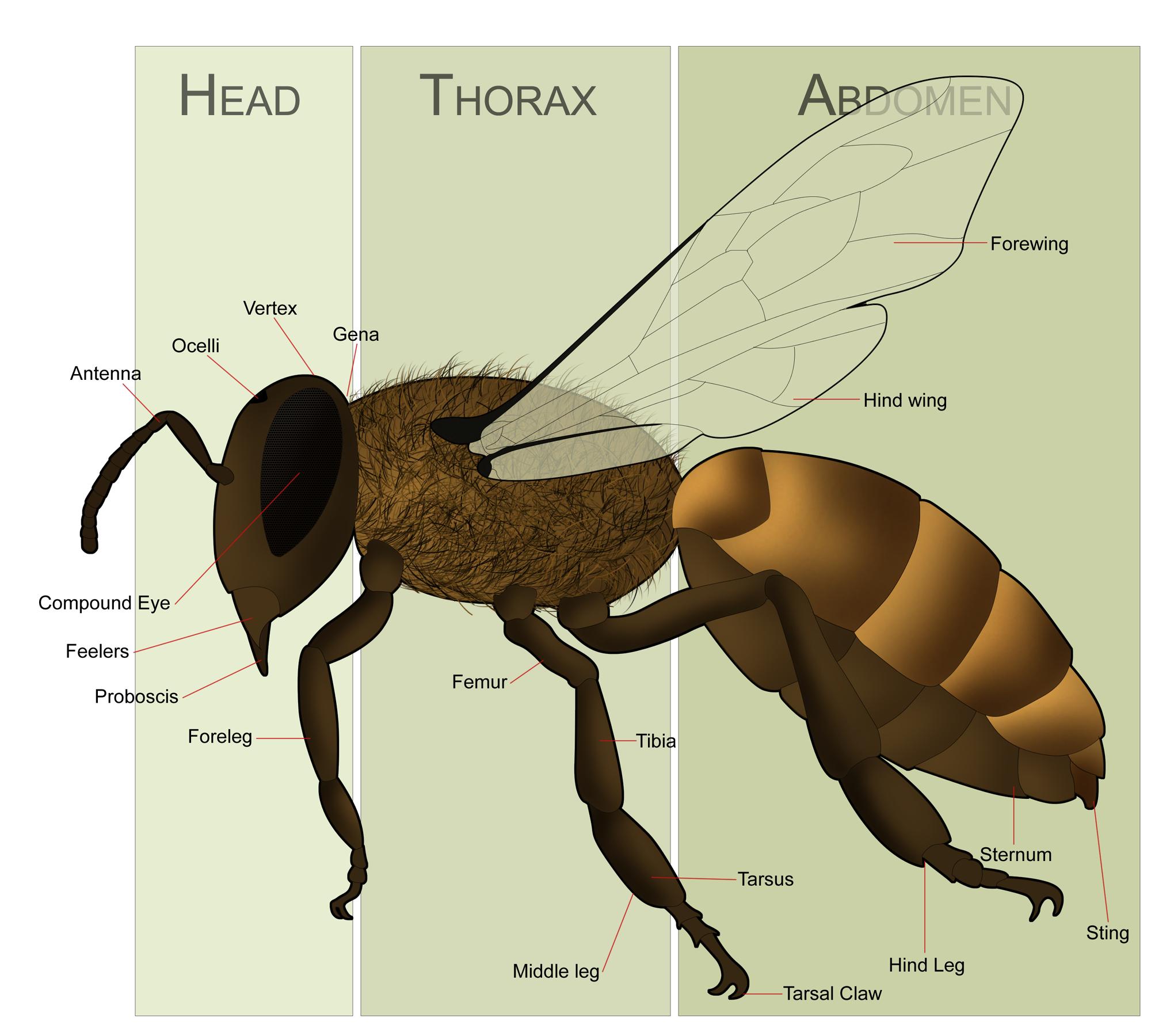 file honeybeeanatomy png wikipedia circuit board labeled diagram of a toshiba tv