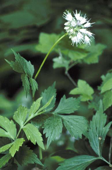 Hydrophyllum Virginianum Wikipedia