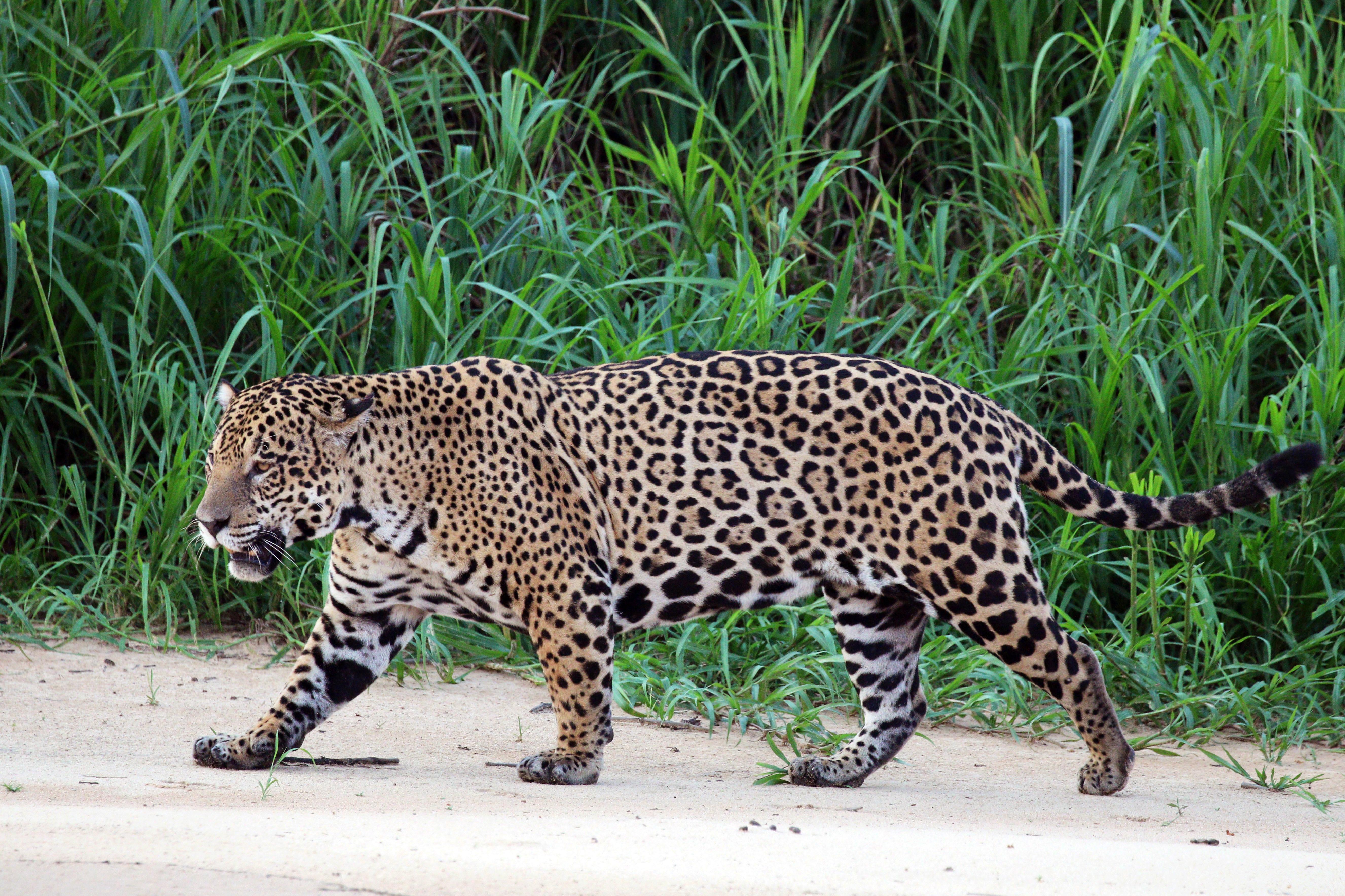 puma panther unterschied