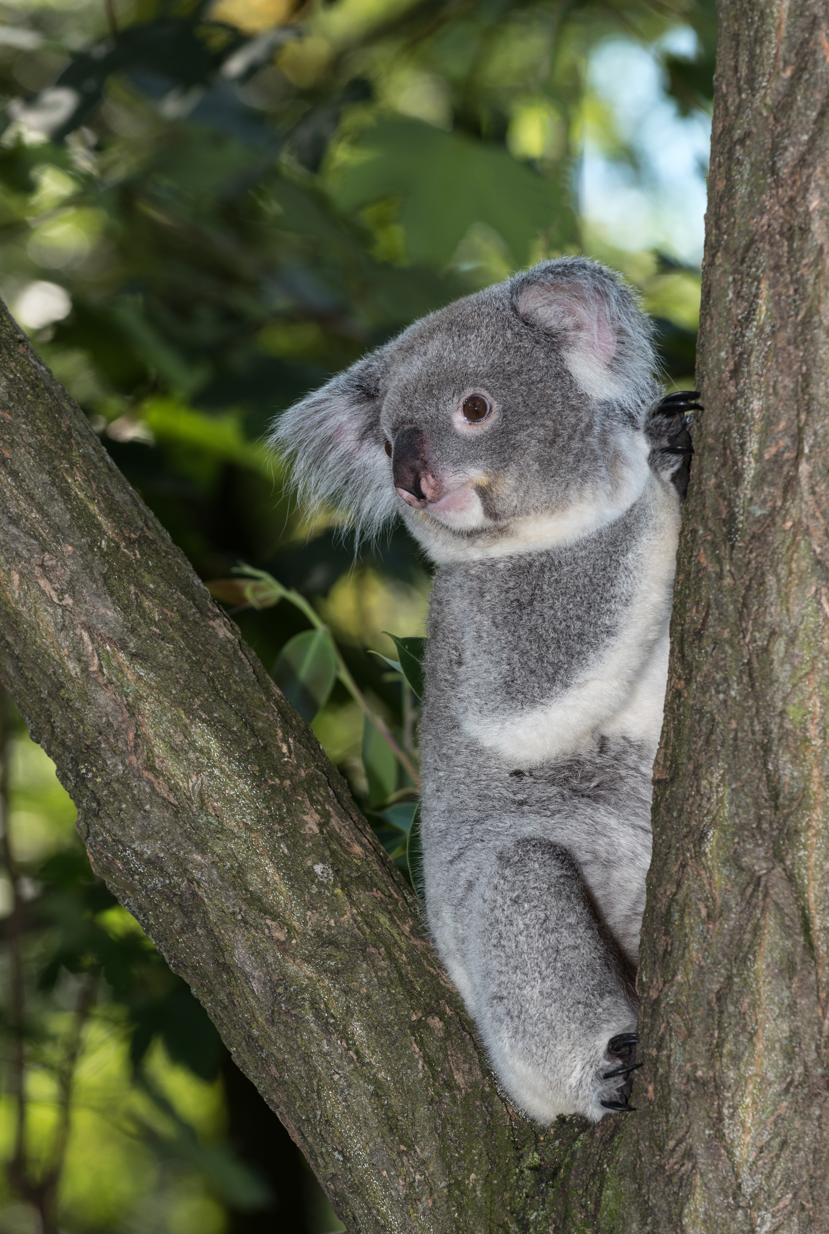 file koala zoo duisburg 2016 wikimedia commons. Black Bedroom Furniture Sets. Home Design Ideas