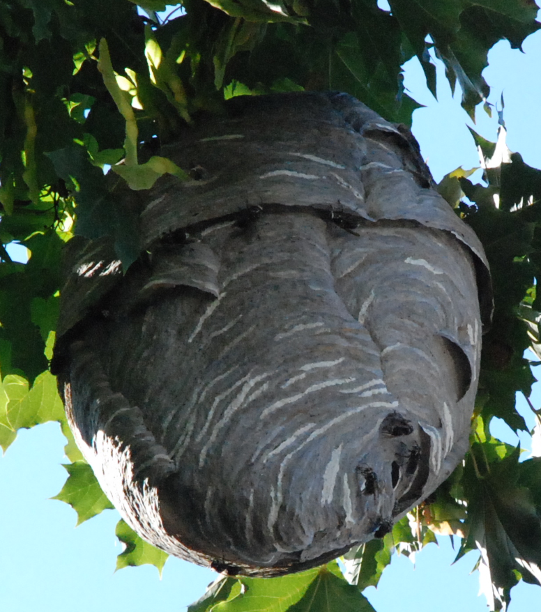 File:Large wasp nest.png - Wikimedia Commons
