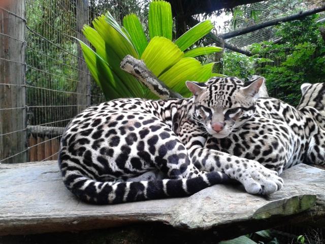 El Ocelote (Leopardus Pardalis)