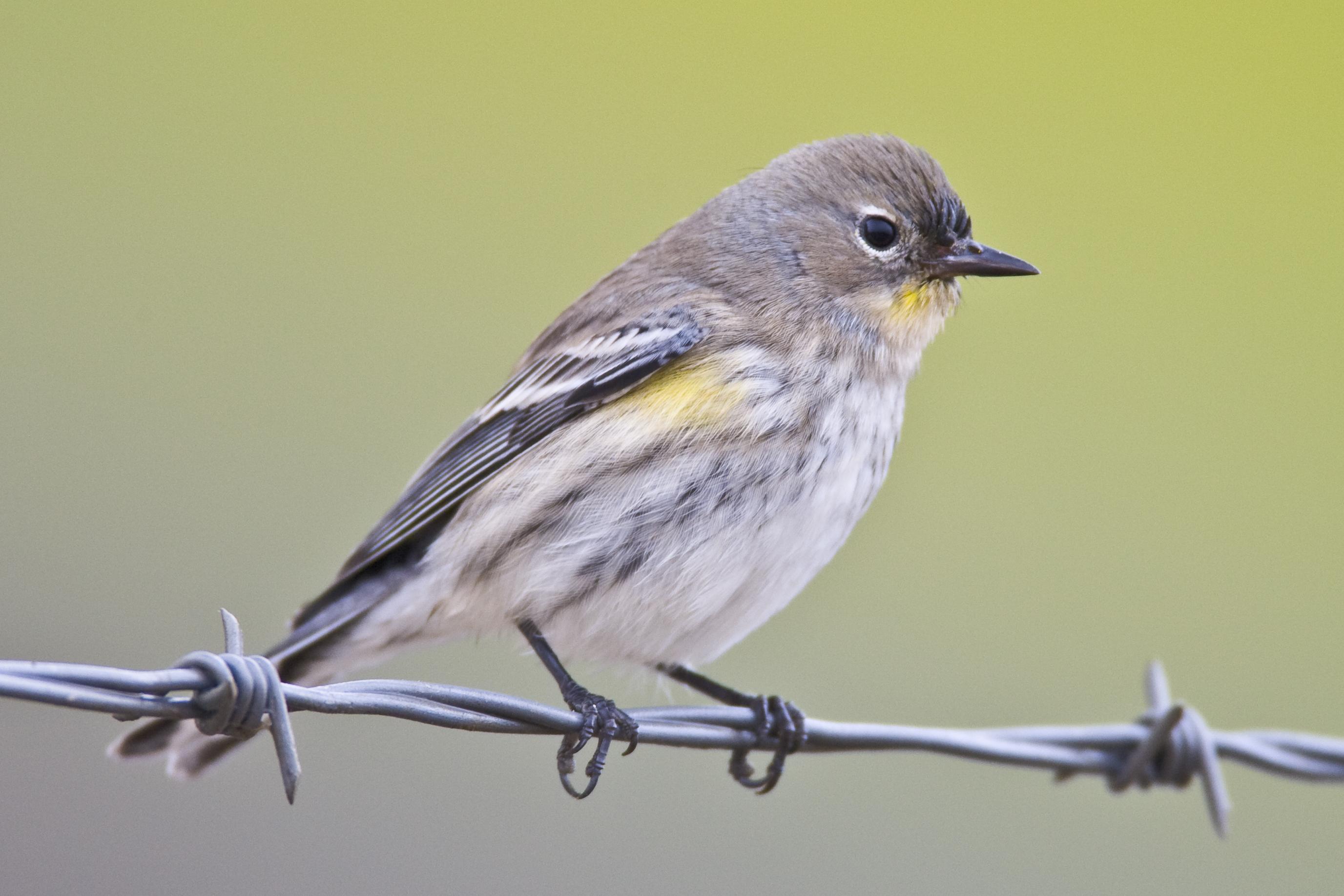 Yellow Rumped Warbler Audubon File:Mikebaird - Yello...