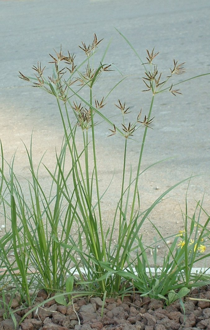Nutgrass, image from Wikimedia