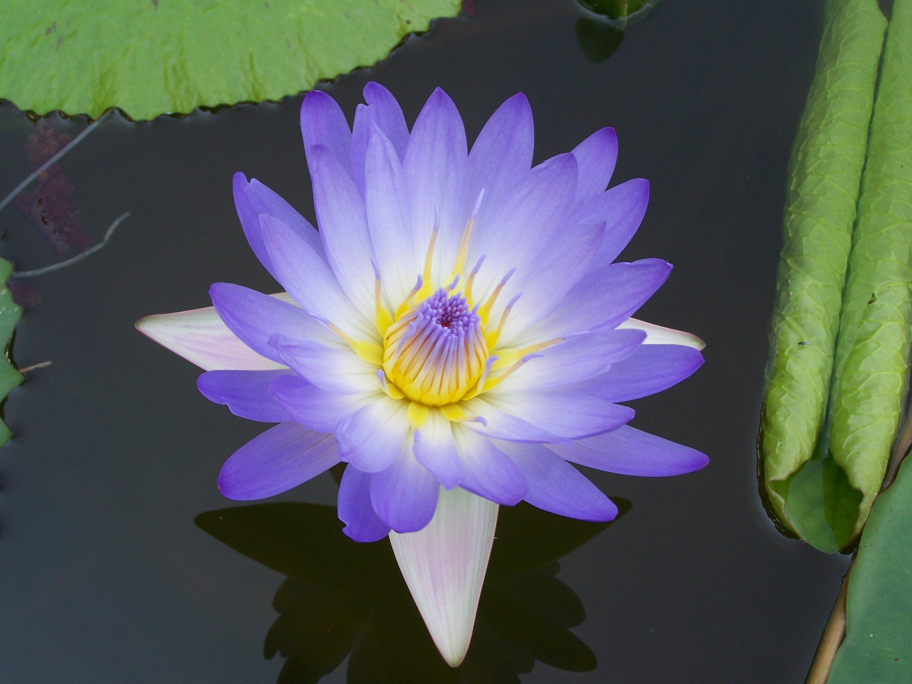 spethnobotany Blue Lotus