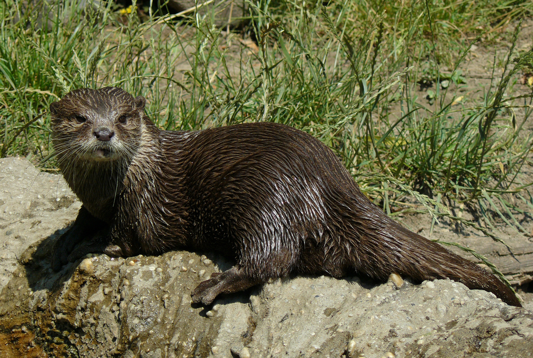 https://upload.wikimedia.org/wikipedia/commons/a/ac/Oriental_clawless_otter.jpg