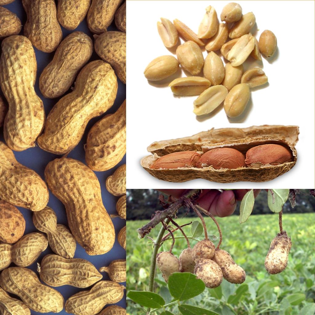 Podzemnica olejná (arašidy) (Arachis hypogaea)