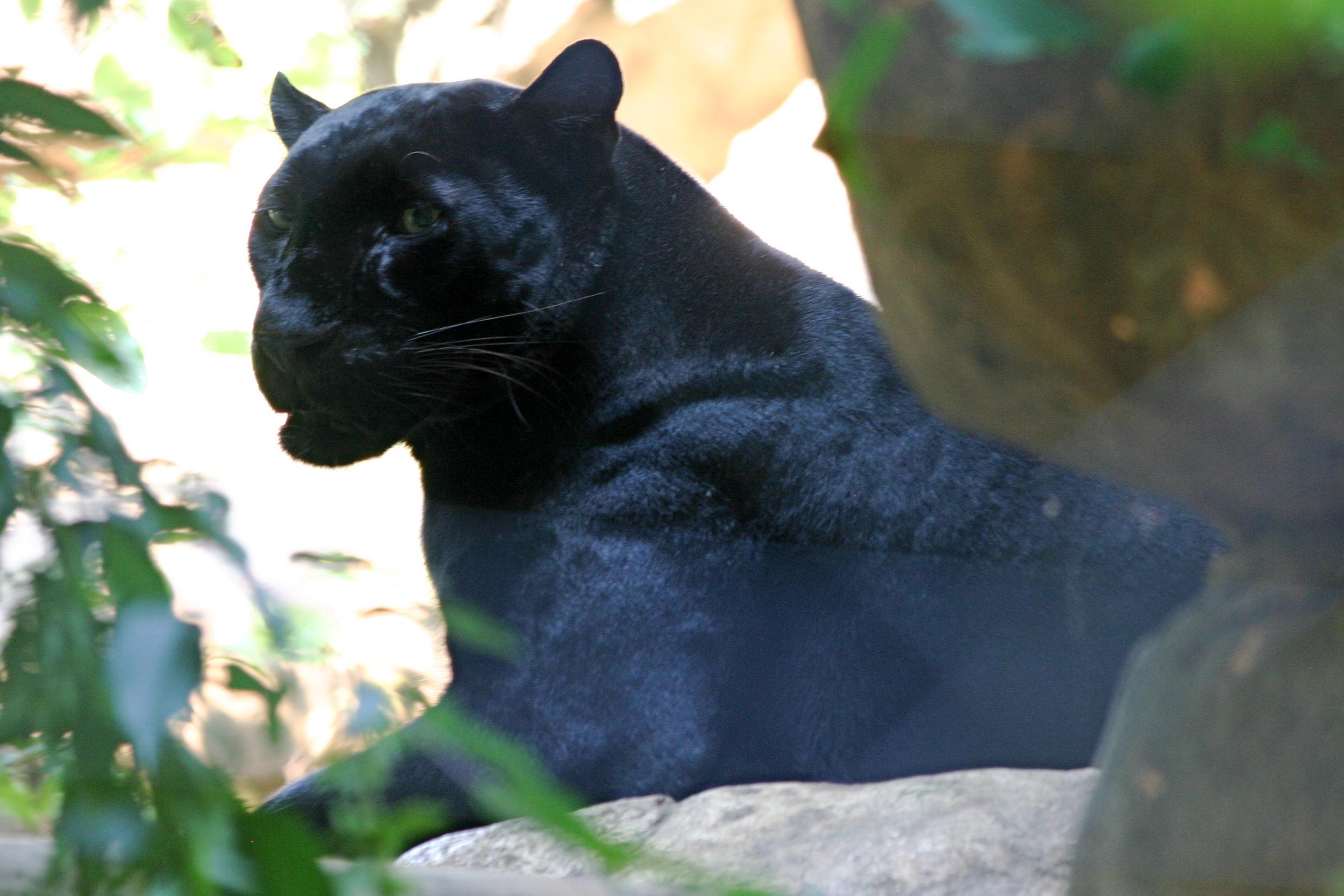 Big Black Cat In The Woods