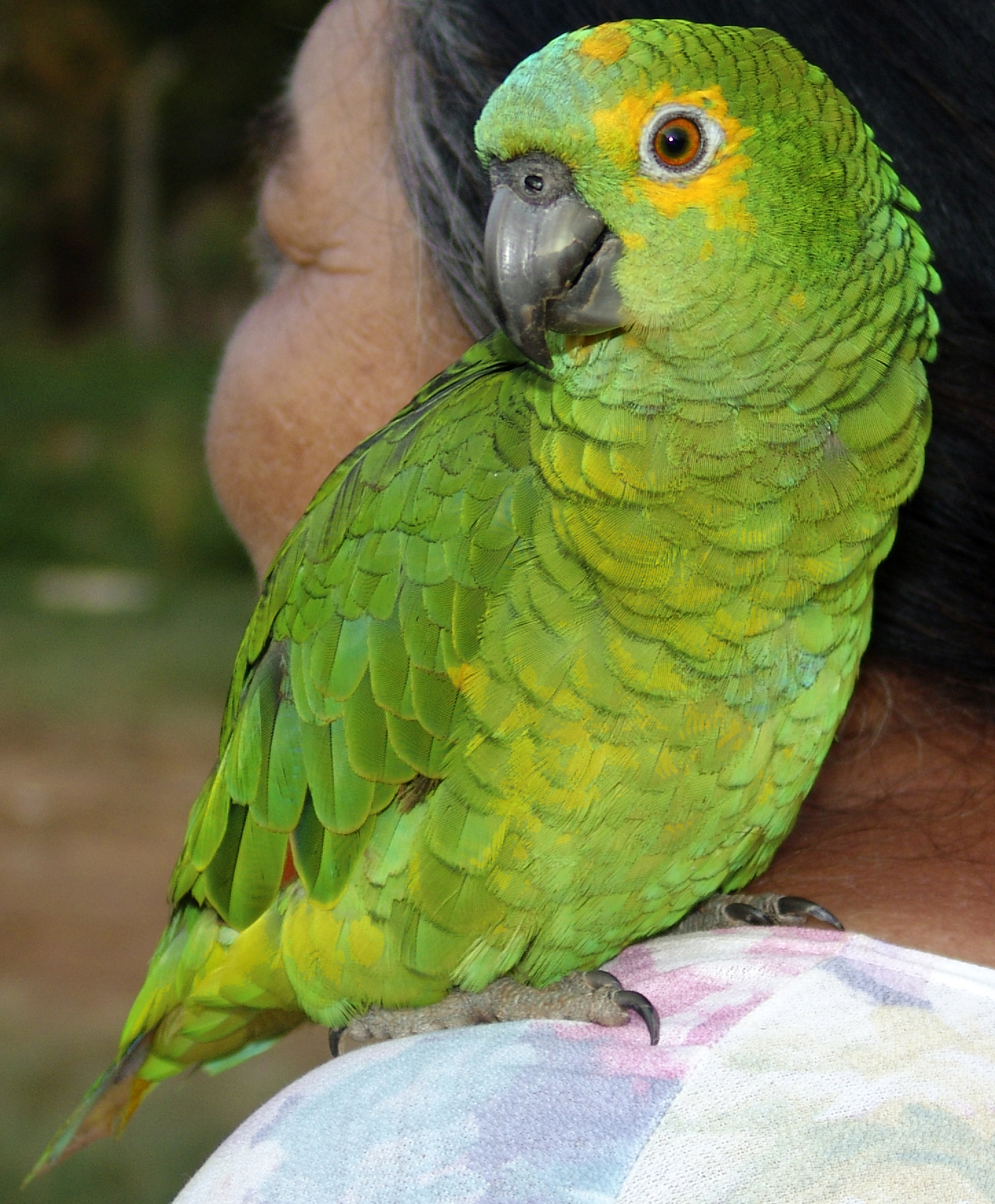 Largest Amazon Parrot a Blue-fronted Amazon Parrot