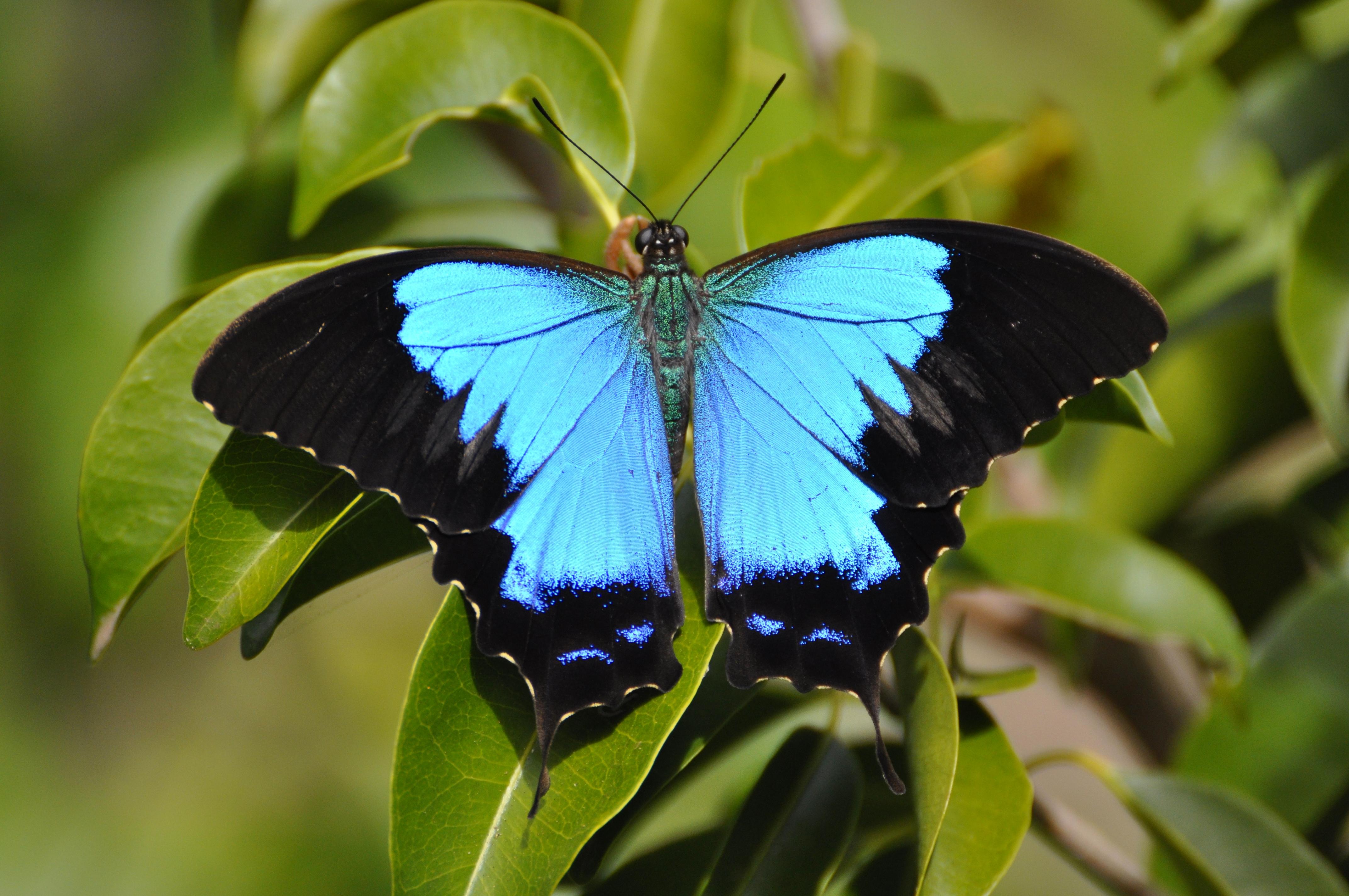Papilio Montrouzieri Wikipedia