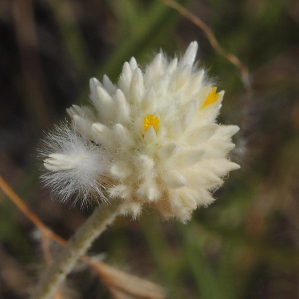 File pfaffia gnaphalioides soriano palmar suelo arenoso for Suelo pedregoso