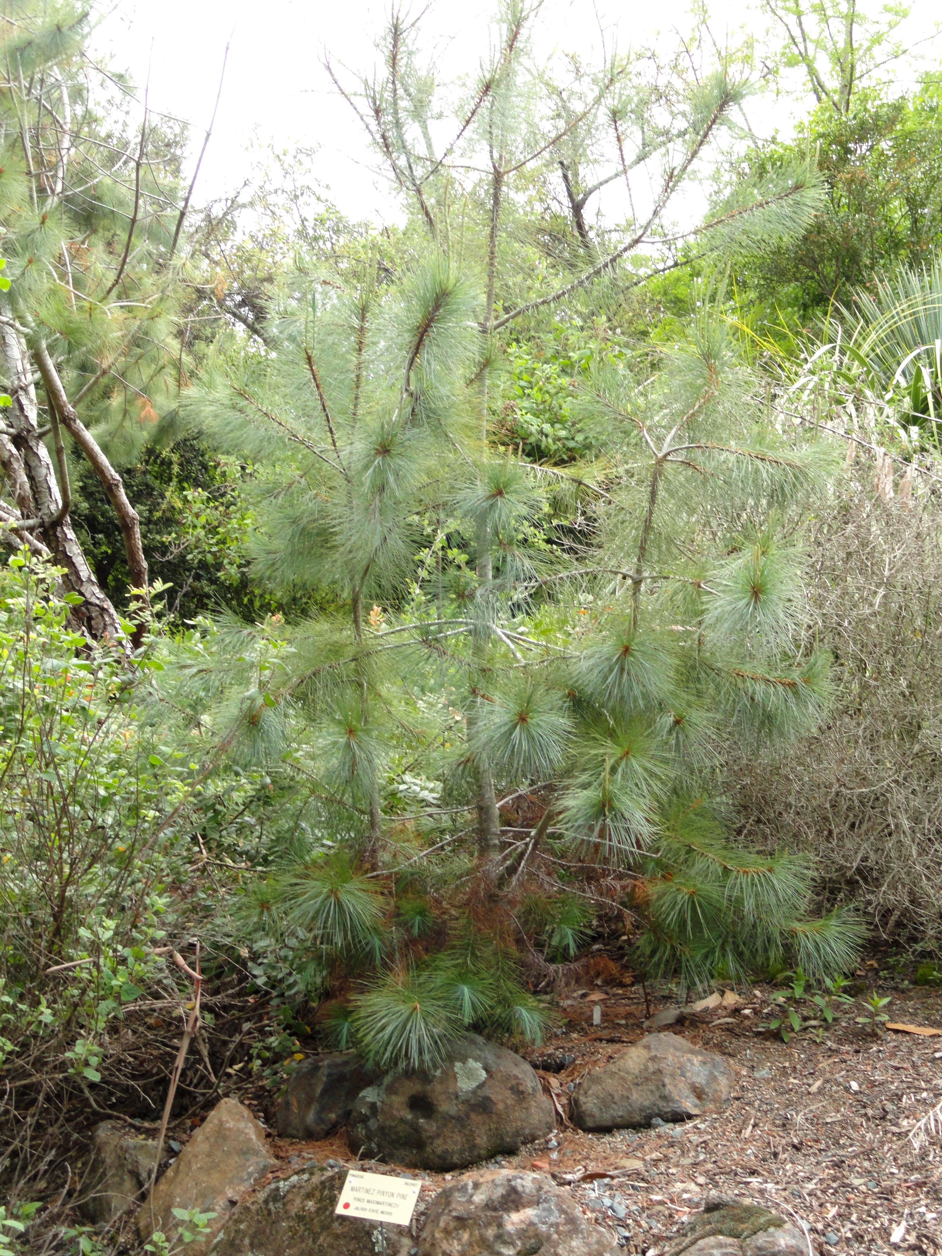 File:Pinus Maximartinezii   University Of California Botanical Garden    DSC08969.JPG