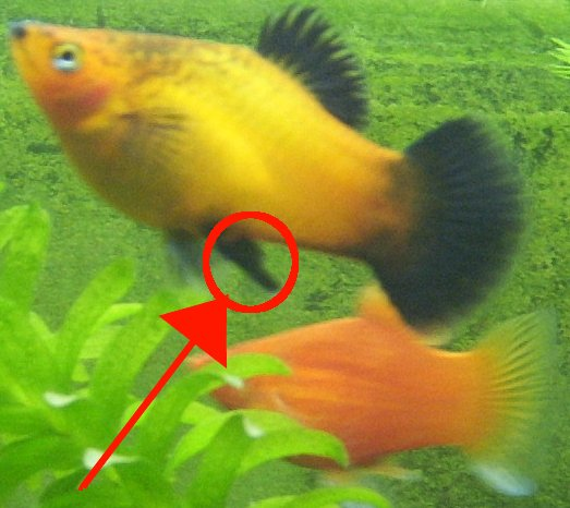 ... platy help! - Tropical Fish Keeping - Aquarium fish care and resources Guppy Fish Eggs In Tank