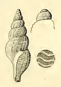 <i>Pleurotomella brenchleyi</i> Species of gastropod