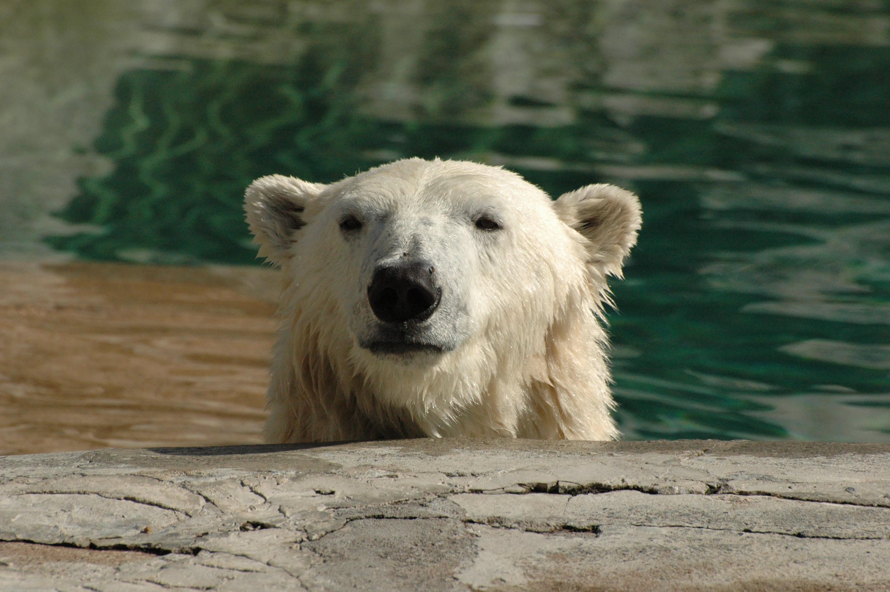 file polar bear head jpg wikimedia commons