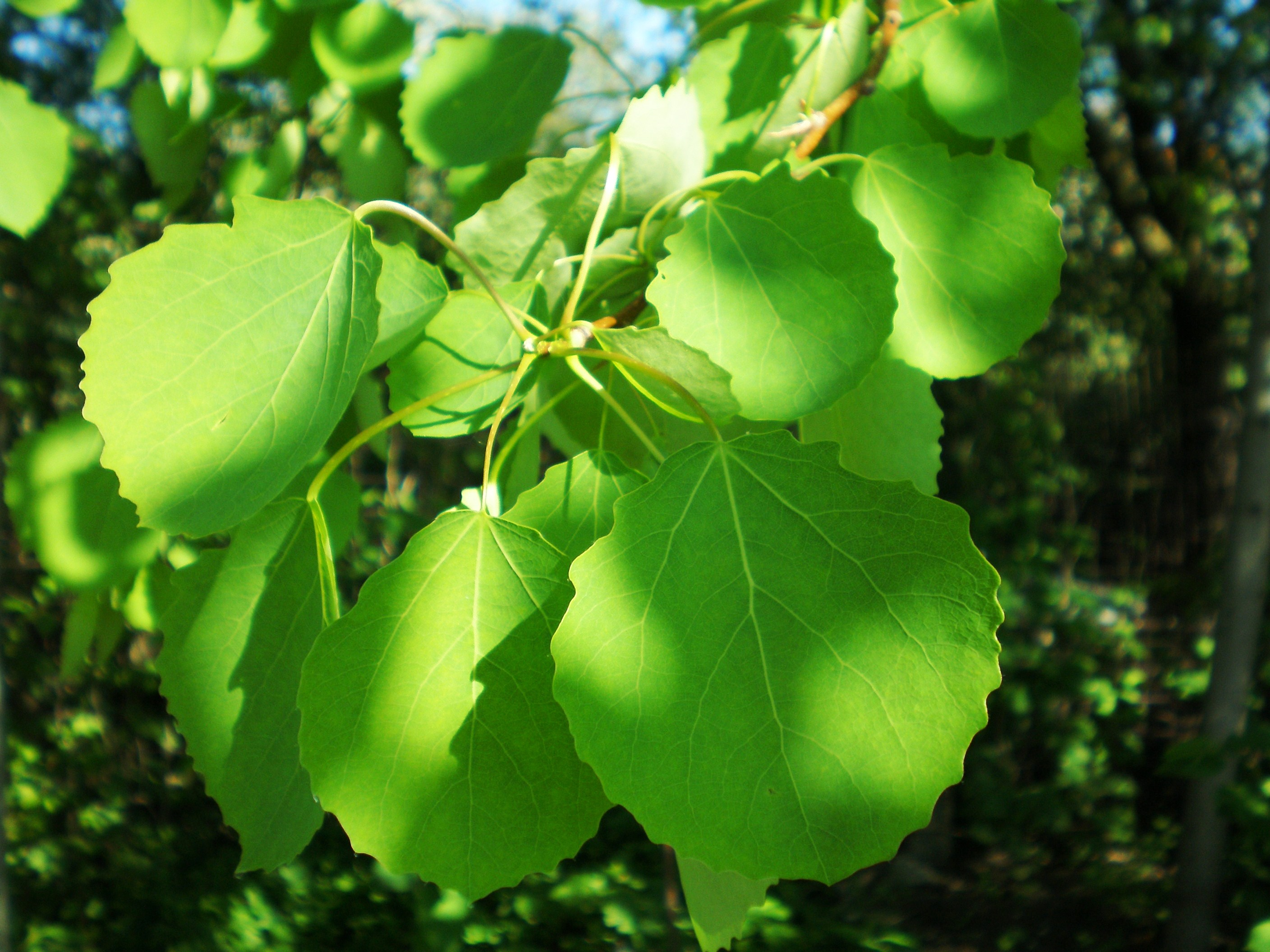 Pollution fighting poplar trees biology fortified inc for Pollution fighting plants