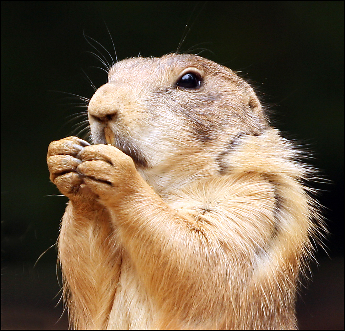 Prairie Dogs As Pets Advantages And Disadvantages