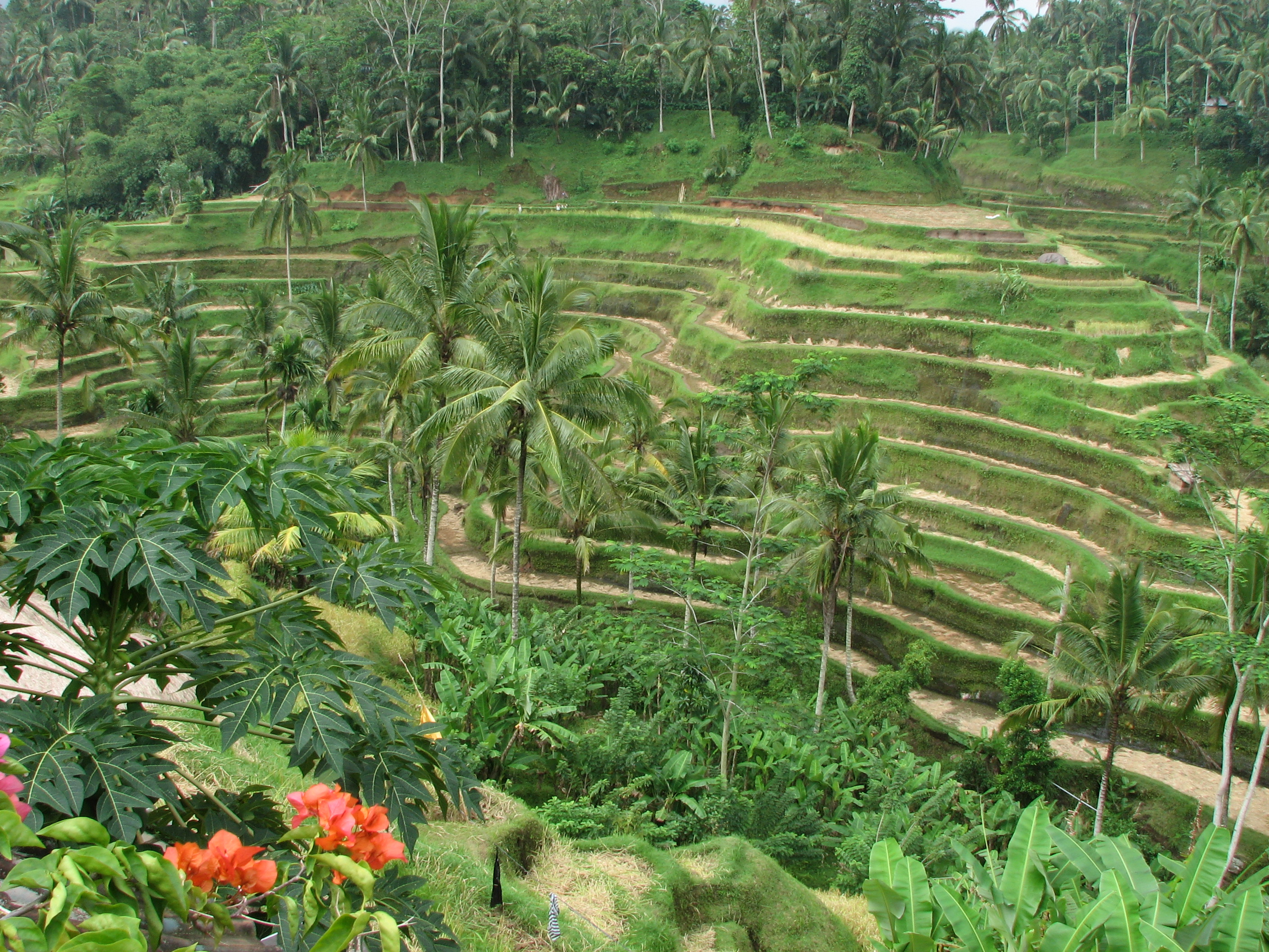 File rice terrace in wikimedia commons for Tegalalang rice terrace ubud